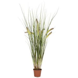 2.5 ft Grass Plant