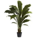 3.5' Birdsnest Plant