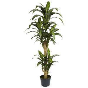 5' Yucca Silk Plant