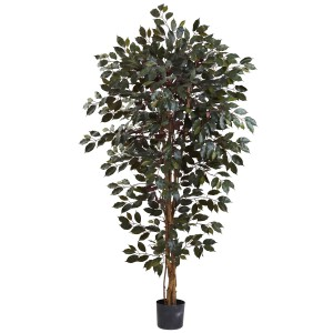 6' Capensia Ficus Tree