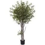 6' Olive Tree