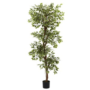 6' Variegated Ficus Tree