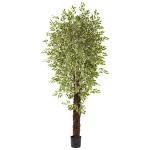 7.5' Variegated Mini Ficus Silk Tree