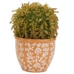 Barrel Cactus Silk Plant