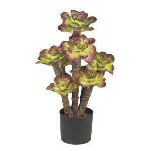Echeveria Silk Plant
