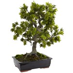 Giant Podocarpus w/Mossed Bonsai Planter