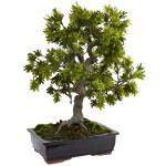 Giant Podocarpus w/Mossed Bonsai Planter