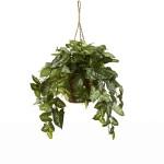 Nepthytis Hanging Basket