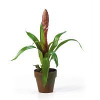 Potted Single Sword Bromeliad